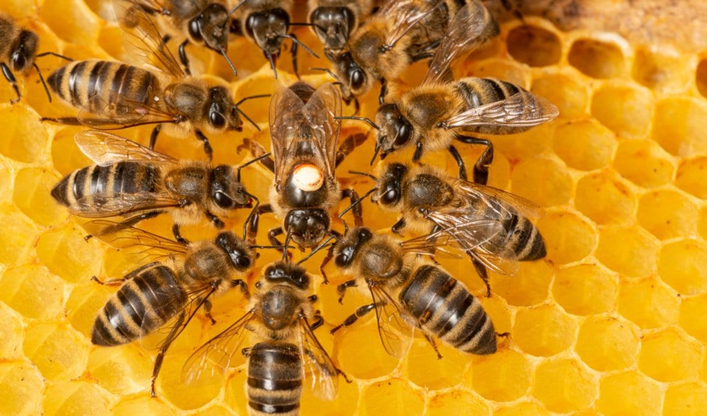 A queen bee surrounded by workers in a bee colony